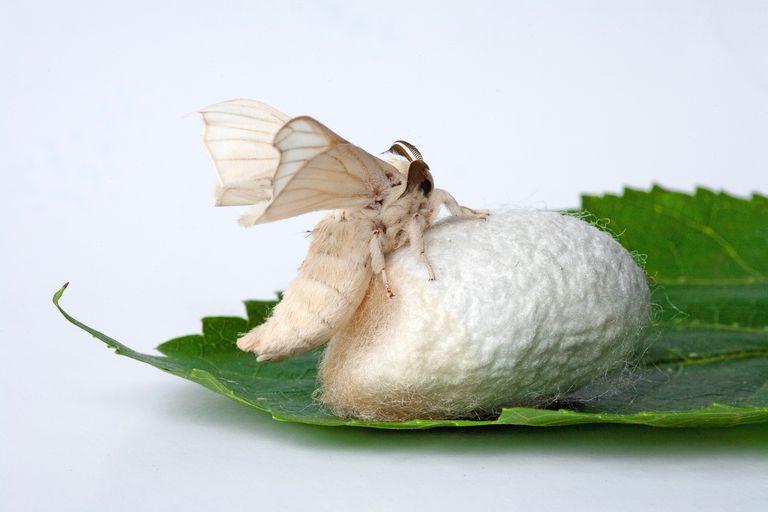 White Silkworm spun
